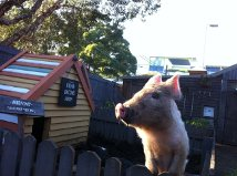 Kevin Bacon- The Happiest Pig in Sydney